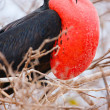 Male magnificent frigatebird - Stock Photo