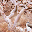 Stock Photo: Blue footed booby under tree