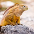 Land iguana — Stock Photo #19243167