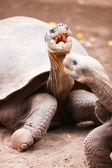 Galapagos giant tortoises — Stock Photo