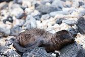 Newborn sea lion — Stock Photo