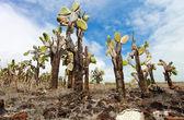 Las kaktus opuncja — Zdjęcie stockowe