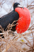 Male magnificent frigatebird — Стоковое фото