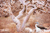 Blue footed booby under the tree — Stock Photo