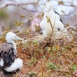 Magnificent frigatebird chick - Stock Photo