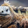 Male marine iguana — Stock Photo #19548041