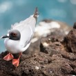 Swallow-tailed gull — Stock Photo