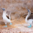 Blue footed booby mating dance — Stock Photo #22103337