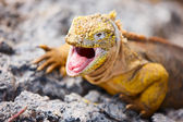 Land iguana — Stock Photo