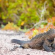 Male marine iguana — Stock Photo #23923535