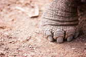Galapagos giant tortoises foot — Stock Photo