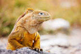 Iguana terrestre — Foto de Stock