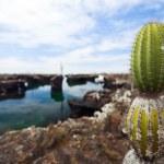 View of an area with Opuntia cactus at Galapagos island of Santa Cruz — Stock Photo