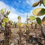 View of an area with Opuntia cactus at Galapagos island of Santa Cruz — Stock Photo #24967125