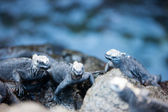 Endemic Galapagos marine iguanas on rocks — Stock Photo