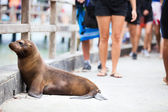 Sea lion sleeping along a pedestrian walkway — Stok fotoğraf
