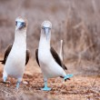 Blue footed booby mating dance - Stock Photo