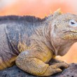 Land iguana — Stock Photo #25525245