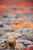 Land iguana — Stock Photo