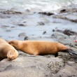 Stock Photo: Sea lions