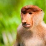 Snabel monkey — Stockfoto