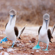 Blue footed booby mating dance — Stock Photo