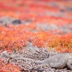 Land iguana — Stock Photo #26529831