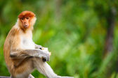 Proboscis monkey — Stockfoto