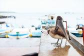 Pelikán na přístavní město — Stock fotografie