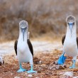 Blue footed booby mating dance — Stock fotografie