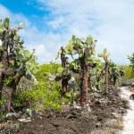 Opuntia cactus forest — Stock Photo
