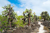 Opuntia cactus forest — Stock Photo