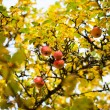 Apples on a tree — Foto de Stock