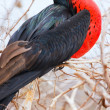 male magnificent frigatebird — Stock Photo
