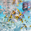 Woman snorkeling with tropical fish — Stock Photo
