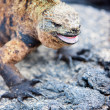Male marine iguana — Stock Photo