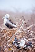 Magnificent frigatebird chicks — Stock Photo