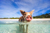 Swimming pigs of Exumas — Stock Photo