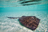 Sting ray — Stock Photo