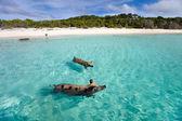Porcs de natation d'exuma — Photo