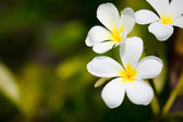 White frangipani tropical flowers — Stock Photo