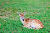 Deer fawn on grass — Stock Photo