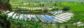 Rice terrace in Bali — Stock Photo