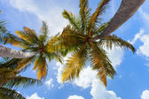 Coconut palms against blue sky — Stock Photo
