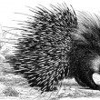 Crested Porcupine — Stock Photo