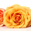 Stock Photo: Fine roses on a white background