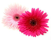 Pink flowers on a white background — Stock Photo