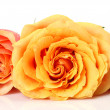 Fine roses on a white background — Stock Photo