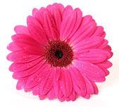 Pink flower — Foto de Stock