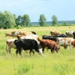 Stock Photo: Grazed cows
